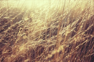 golden grass pasto